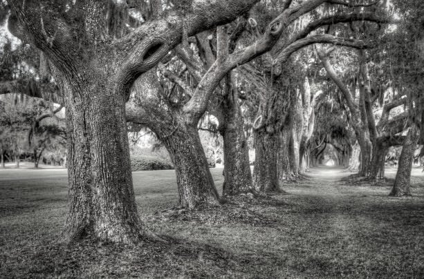 Commemorative Oaks in Sea Island
