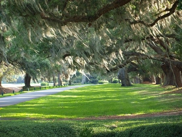 Oaks draped with Spanish Moss