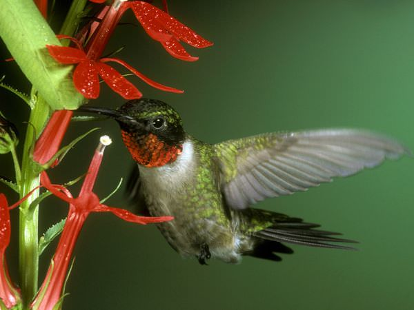 Ruby Hummingbird