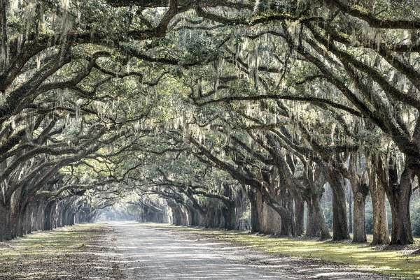 Sea Island Avenue of Oaks