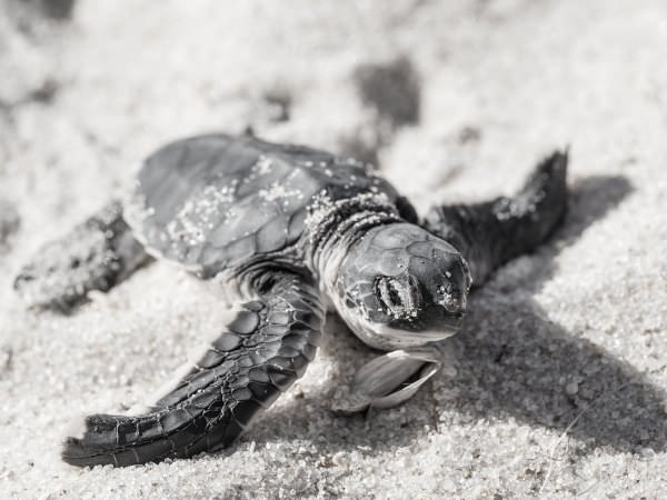 Sea Island Real Estate: Don't Crawl If You Want to Catch Sight of the Turtles