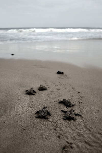 Sea Turtles are Also Looking for St Simons Real Estate